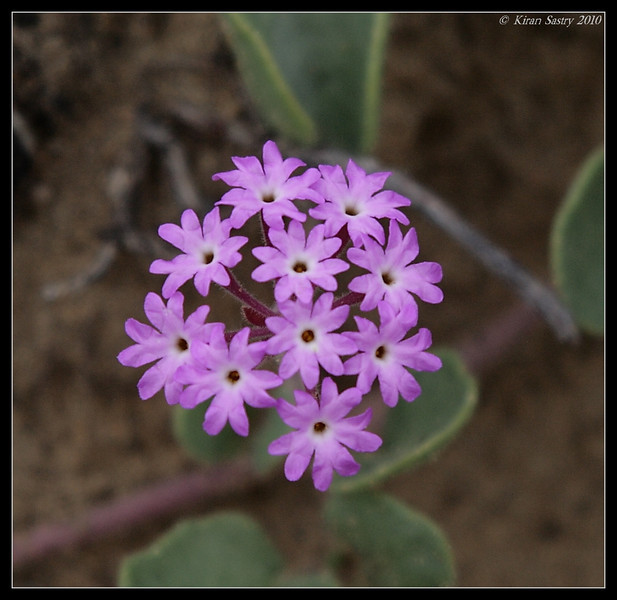 Sand Verbena, Torrey Pines State Reserve, San Diego County, California, April 2010