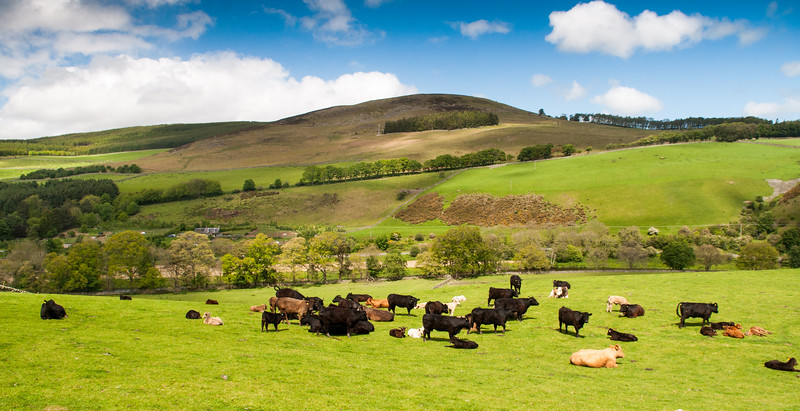 Cows in the Tweed Valley