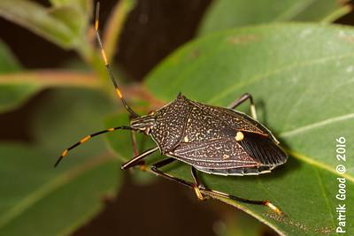 Common Gum Tree Shield Bug