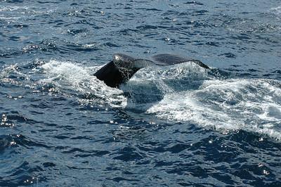 Drake Passage - Humpback Whales