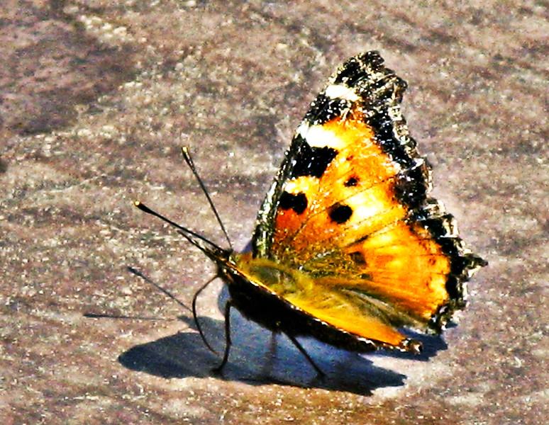 Butterfly 09-001.jpg