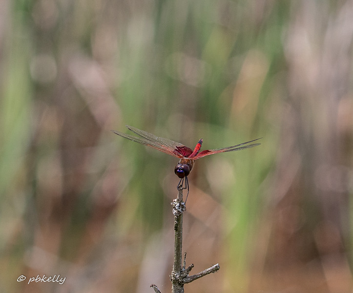 After flitting incessantly this Carolina Saddlebags finally sat for a portrait.