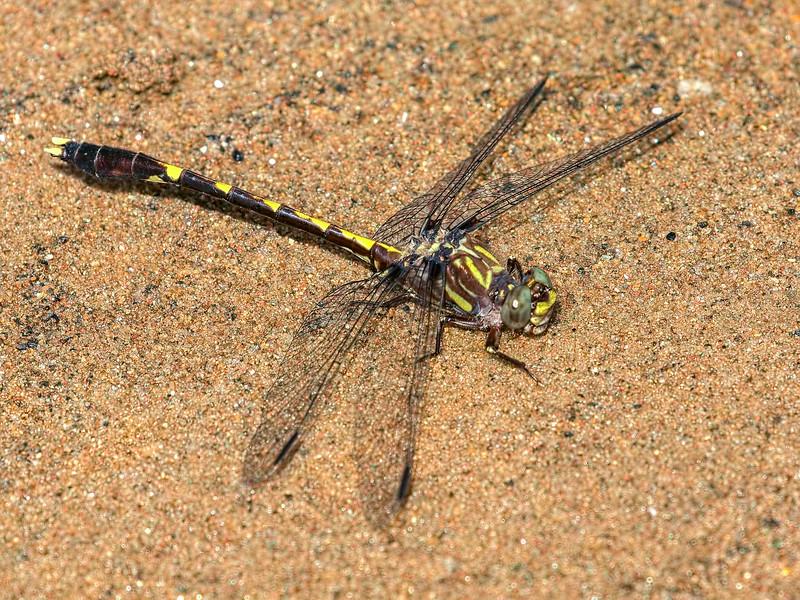 Common Sanddragon (Progomphus obscurus), Male