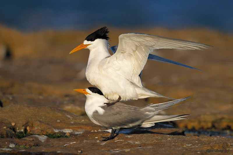 Crested Terns 2 Mating  MASTER.jpg