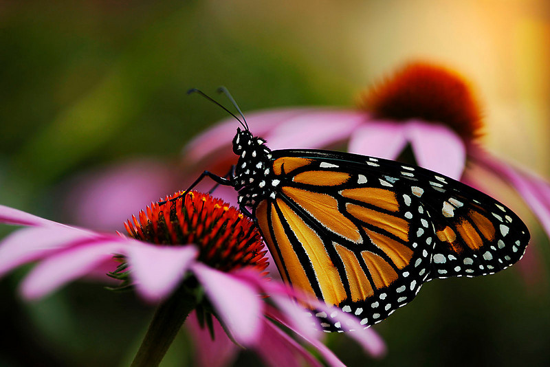 Monarch with coneflower 1