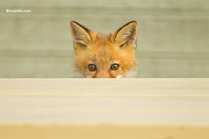 sm fox_M4D6080.jpg