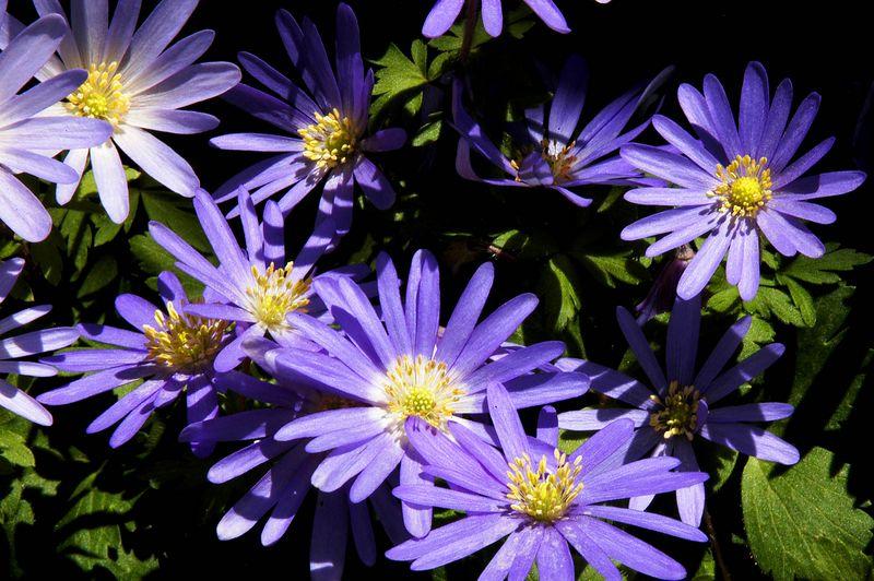 2183 Purple daisies.jpg