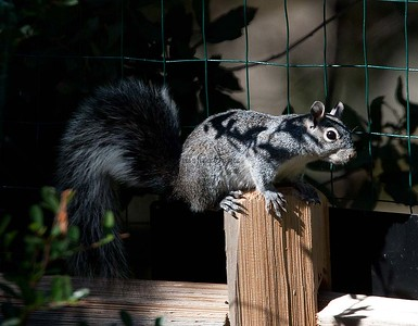 Western-Gray Squirrel