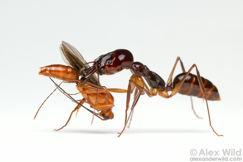 Nestmate transport: a worker trap-jaw ant (Odontomachus sp.) carries a male.  Cambodia (laboratory colony at the University of Illinois)