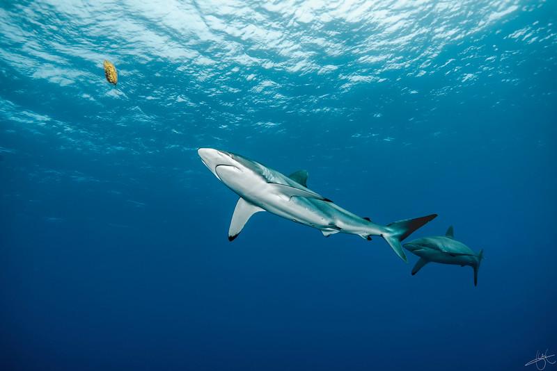 Requin soyeux