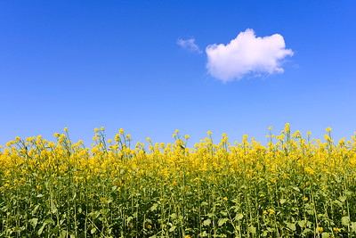 Canola Flowers And Cloud