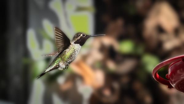 2018: November 25, Hummingbirds
