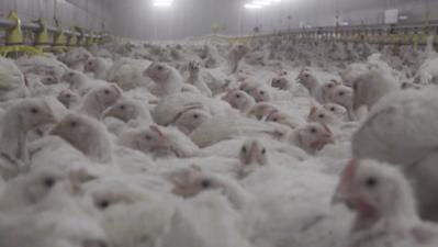 Élevage de poulets Solignat - Mai 2019