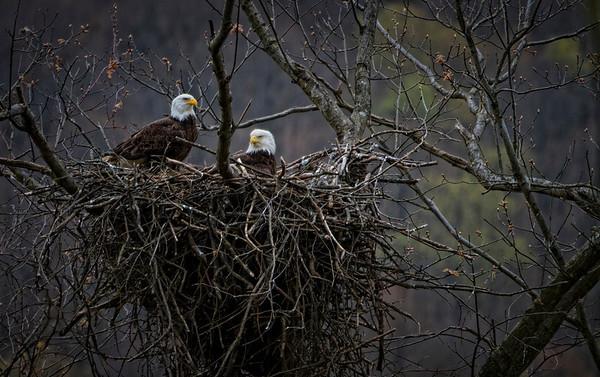 Oil Creek Bald Eagle Family