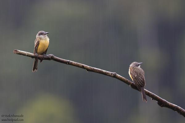Crowned Slaty-Flycatcher