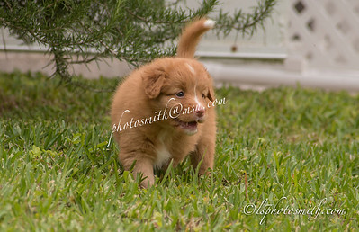 Joy's Toller pups