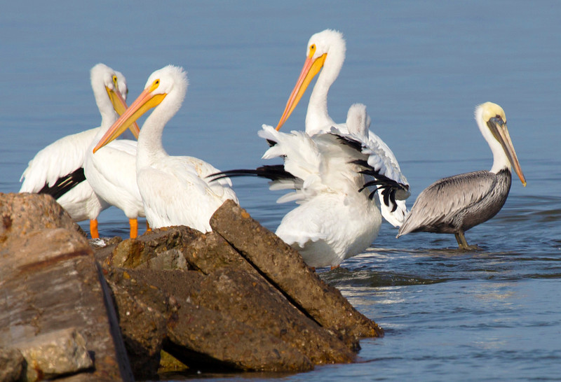 Five White Pelicans: four adult and one juvenile.