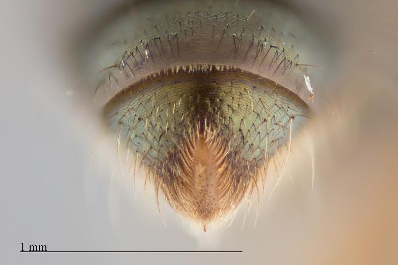 Homalictus taveuni female