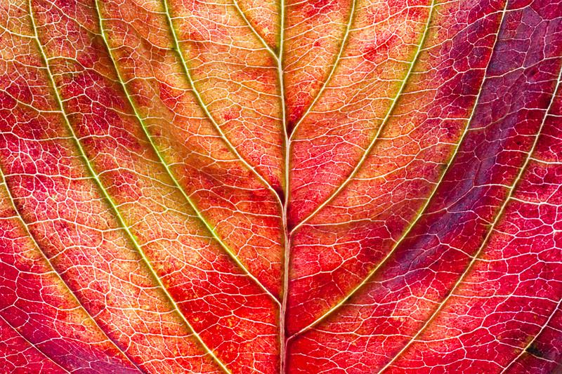 dogwood-leaf2.jpg