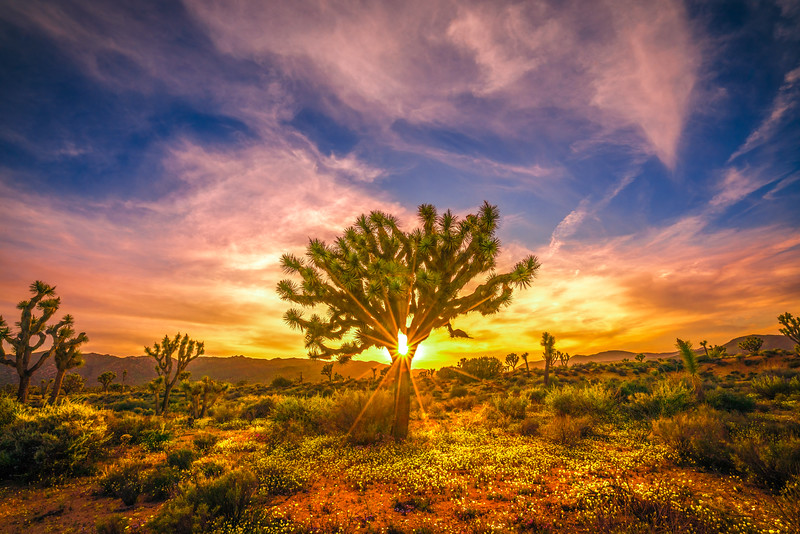 Joshua Tree Spring Symphony #12: Joshua Tree National Park Wildflowers Superbloom Sunset Fine Art Landscape Nature Photography  Dr. Elliot McGucken Prints & Luxury Wall Art!