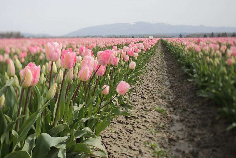 Tulips-2010 26.JPG