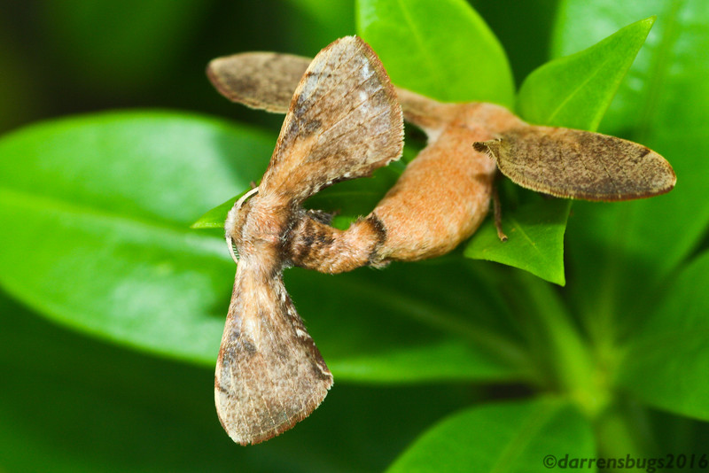Mating pair of silkworm moths (Bombycidae: probably Trilocha sp.) from Bangkok, Thailand.