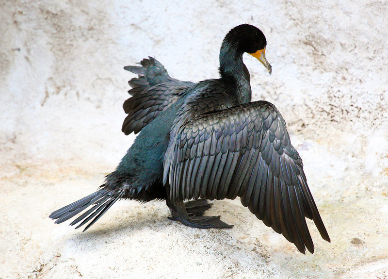 I never cease to be amazed by a cormorant's subtle play of colors.
