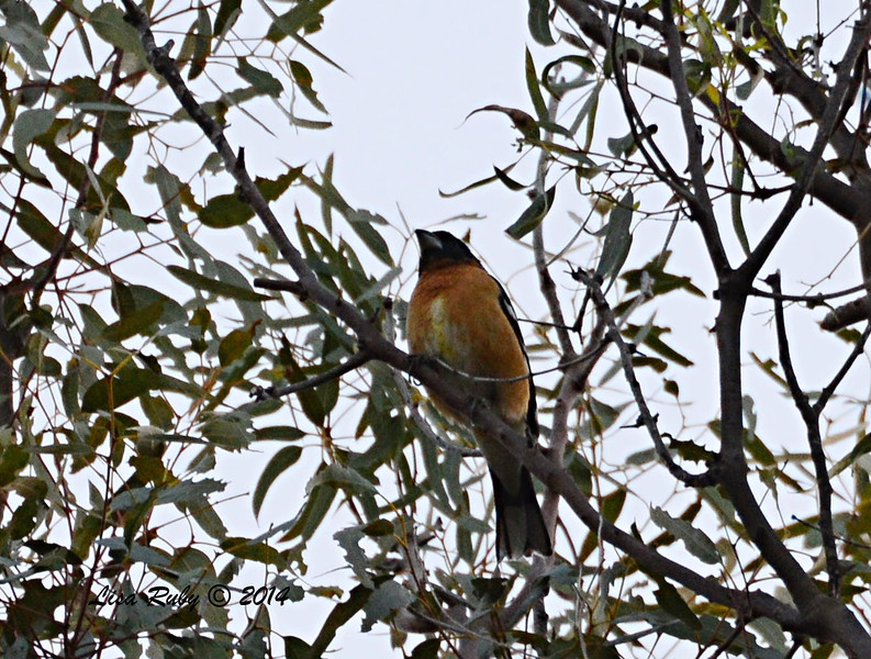 Black-headed Grosbeak - 3/30/14 - Lake Hodges, Lake Drive