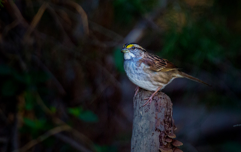 11.2.17 - Beaver Lake Fish Nursery: White-throated Sparrow