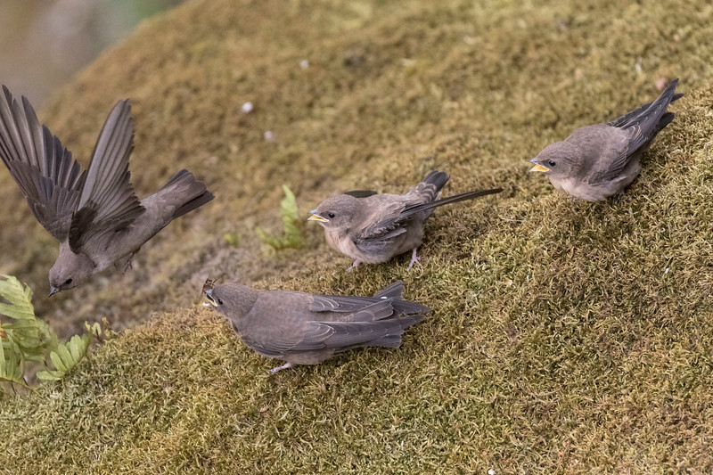 guimaraes, rotszwaluw