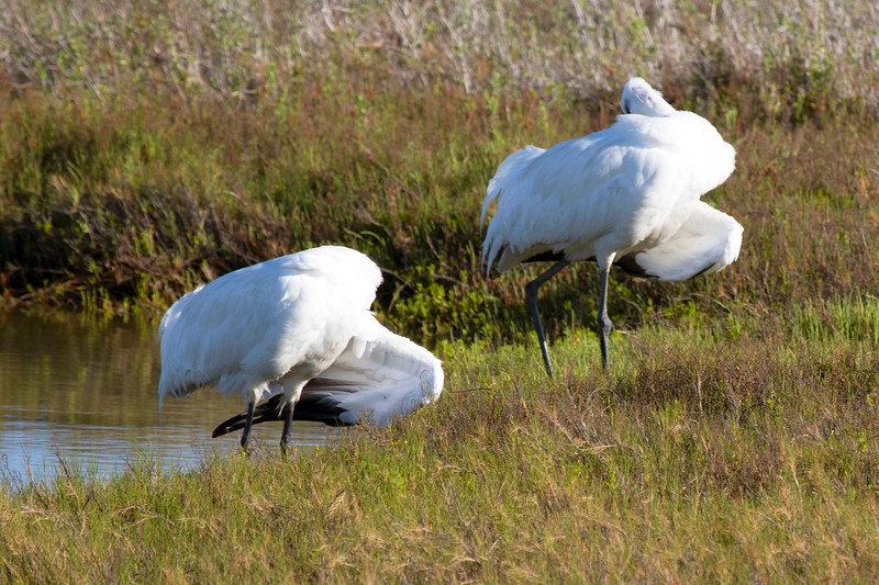 The two whooping cranes pause to groom.
