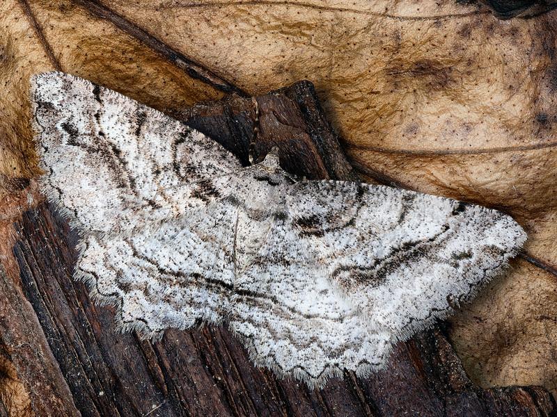 Brown-lined Looper Moth