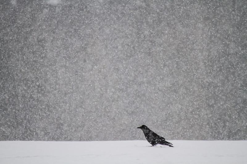 Common Raven in snow Skogstjarna Carlton County MNIMG_0929.jpg