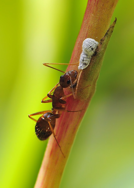 Ant-tending-to-mealybug.jpg