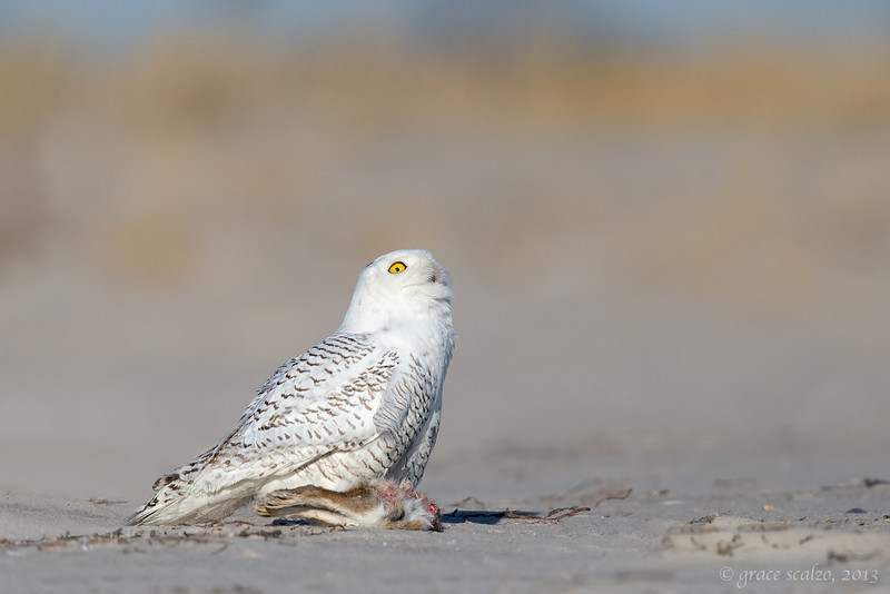 Snowy Owl w rabbit -upward glance_O8U2047-Edit.jpg