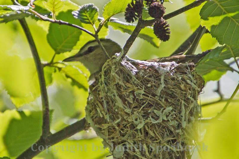 Nesting Red-eyed Vireo