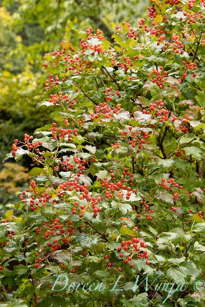 Viburnum opulus 'Compactum' with berries_2673.jpg