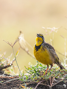 Dawns Chorus with a Yellow-throated Longclaw