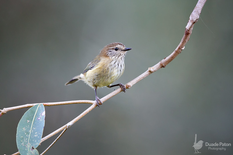 Striated Thornbill
