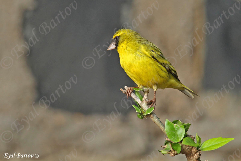 Lesser Masked Weaver - Canabis Weber - Ploceus intermedius