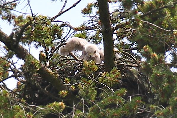 May 19, 2012 Hawk babies   4444.png