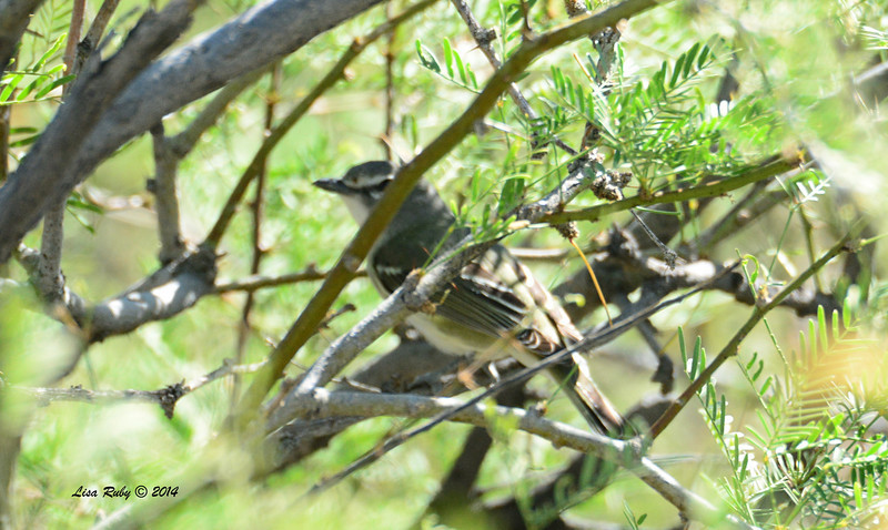 Current ID input is Cassin's Vireo - 4/6/2014 - Agua Caliente County Park, San Diego