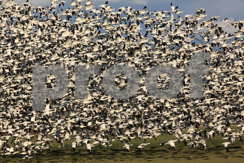 Snow geese gathering on the Skagit River Delta near Mount Vernon, Washington State.