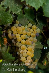 Orange Muscat Grapes - Vitis vinifera