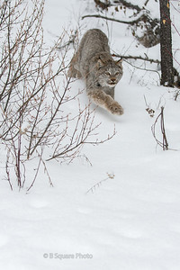 Canadian Lynx Photography