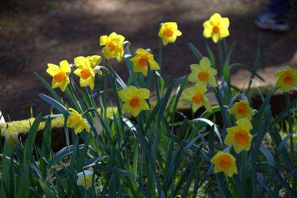 Daffodil Hill April 4, 2011