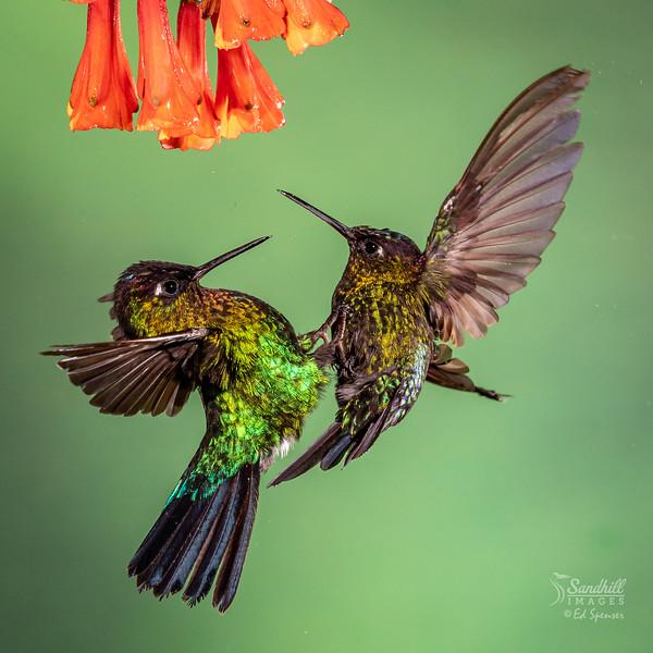 Battling hummingbirds