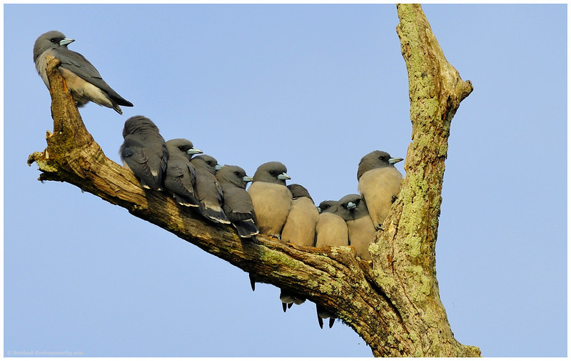 Swalpa Adjust maadi ( Adjust please... ) | Ashy wood swallows.....