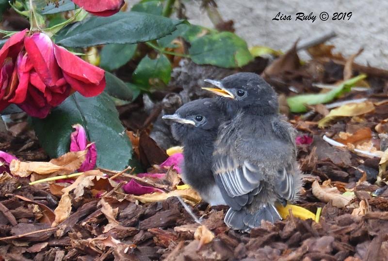 Black Phoebe fledglings - 6/18/2019 - Sabre Springs Backyard