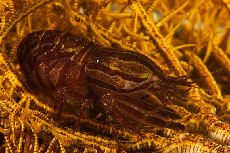 shrimp crinoid_1.jpg